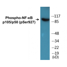 NF-kappaB p105/p50 (Phospho-Ser927) Colorimetric Cell-Based ELISA Kit