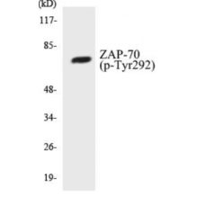 ZAP-70 (Phospho-Tyr292) Colorimetric Cell-Based ELISA Kit
