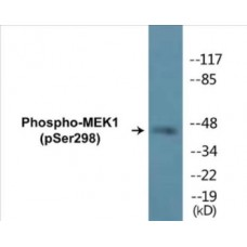 MEK1 (Phospho-Ser298) Colorimetric Cell-Based ELISA Kit