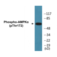 AMPKalpha (Phospho-Thr172) Colorimetric Cell-Based ELISA Kit