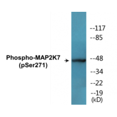 MAP2K7 (Phospho-Ser271) Colorimetric Cell-Based ELISA Kit