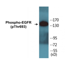 EGFR (Phospho-Thr693) Colorimetric Cell-Based ELISA Kit